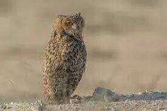 Pharoah-eagle owl