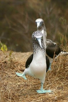 male blue footed booby doing mating dance