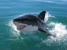 The educational part of the project includes:  How shark cage diving operates; Shark behaviour and biology; The history of shark attacks; etc