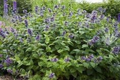 Nepeta subsessilis Herbaceous Perennials, Grass, Blue, Gardens, Plant, Grasses, Herb