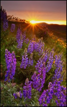 sunset with lupine