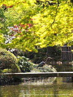 Blue Heron at Fort Worth Japanese Garden