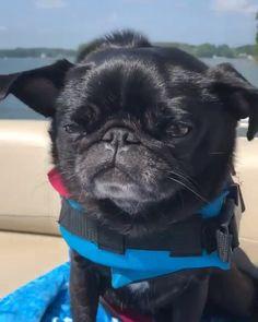 Cute Pugs, Cute Puppies, Cute Baby Animals, Funny Animals, Black Pug Puppies, Dog Collar Tags, Kawaii, Pug Love, Palomino