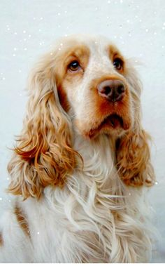 English Cocker Spaniel Cassie