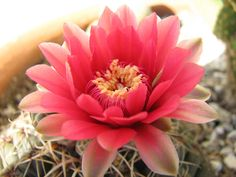 cactus flowers pictures | moved west in the late 70s. It was quite a different time. Coming ...