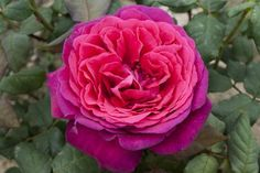 ~Rosa Johan Wolfgang von Goethe Rose® TAN Dark red, ages to carmine-pink . Strong, anise, honey, sweet fragrance. up to 100 petals. Very large, very full,bloom form. Blooms in flushes throughout the season. Bushy. Medium green foliage.
