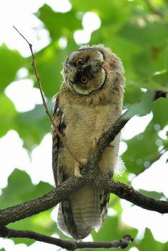 Look Doubtful !? , Long-eared owl Long-eared owl by Mubi.A