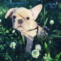 My name is 'Kodak', 'cause I'm so photogenic. Adorable French Bulldog Puppy.