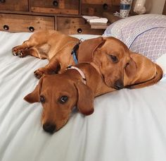 """Acquire terrific ideas on """"dachshund puppies"""". They are actually on call for you on our internet site. Dapple Dachshund, Long Haired Dachshund, Mini Dachshund, Dachshund Puppies, Cute Puppies, Pet Dogs, Daschund, Chihuahua Dogs, Dachshund Clothes"""