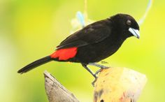 Cherrie's Tanager at La Fortuna