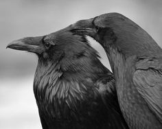 greaterthanexpected:Head Itchby*CanislupuscoraxAn allopreening pair ofcommon ravens(Corvus corax) at the Roaring Mountain in Yellowstone National Park.