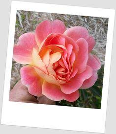 F.J. Lindheimer from  Antique Rose Emporium