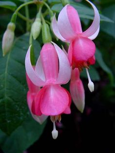fuchsia Louis Hasselmann Freesia Flowers, Rare Flowers, Flowers Nature, Beautiful Flowers, Belle Plante, Hanging Flower Baskets, Bloom Blossom, Beautiful Flower Arrangements, Garden Inspiration