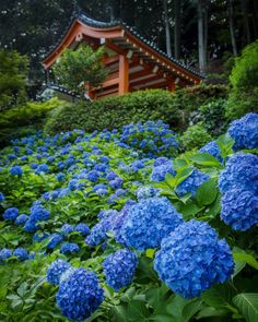 """2,843 Likes, 41 Comments - Koto Tea - Organic Teas KYOTO (@kototea) on Instagram: """"June in Japan signals the rainy season (Tsuyu) and the blooming of Hydrangeas (Ajisai). One if the…"""""""