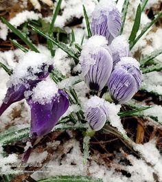 Early Spring Snow (Garden of Len & Barb Rosen)