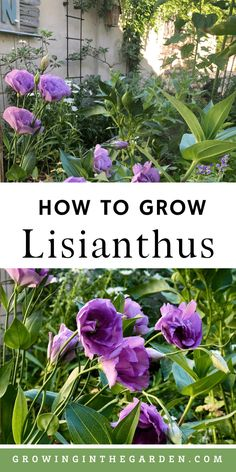 How to Grow Lisianthus: 10 Tips for Growing Lisianthus | Growing In The Garden Growing Flowers, Planting Flowers, Flower Gardening, Arizona Gardening, Gardening Tips, Budget Flowers, Different Types Of Flowers, Flower Farmer, Flowering Shrubs
