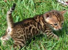 ahh i want a bengal kitten