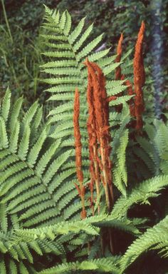 Tolerates semi shade and damp. Fronds are about tall. A New York native fern. Cinnamon Fern, Deer Resistant Plants, Vascular Plant, Native Plants, Ferns, Shrubs, Lily, Hudson Valley, North Carolina
