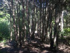 Manuka forest, beautiful trunks from Maramanu From 2014 garden tour