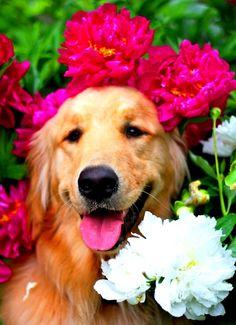 Golden retriever dog flower crown  Toni Kami ❀Flowers in their coats❀