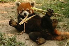 red panda - Google 검색