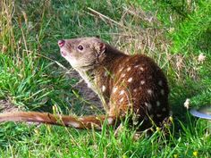 Road Signs | Lucy Burdette: The endangered tiger quoll