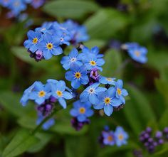 Forget-Me-Not flowers <3