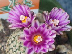 cactus flowers pictures | Cactus Flower