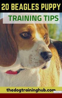 Are you interested in a Beagle? Well, the Beagle is one of the few popular dogs that will adapt much faster to any home. Whether you have a large family, p Art Beagle, Beagle Funny, Beagle Dog, Dog Training Methods, Puppy Training Tips, Training Your Dog, Potty Training, Training Classes, Pocket Beagle