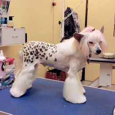 how to do a pony cut on a chinese crested