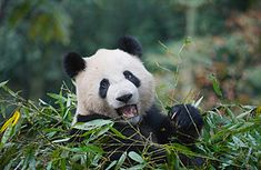 Pandas also make the list of Time Magazine's Top 10 Evil Animals. http://www.time.com/time/specials/packages/article/0,28804,2074429_2074446_2074791,00.html