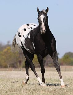 Appaloosa Quarter horse stallion named 'Comanche' - from The Double M Bar Ranch