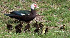 Die Enten in meinem Garten haben wieder Junge und die Mutter muss nur aufpassen, dass kein Raubvogel ihre Kinder holt.