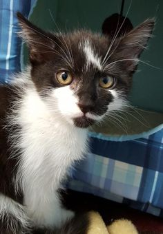 Meet Apples 22694, a Petfinder adoptable Domestic Medium Hair Cat | Prattville, AL | Apples is a 10 week old, medium-haired, black and white female kitten.Dogs and puppies may be...