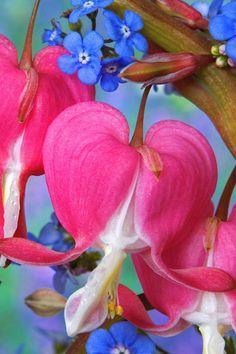 Bleeding Heart and Forget-Me-Not  I LOOOOOOOOOOVE these flowers, the combination is fantastic!!!!