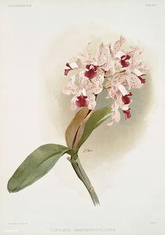 Free Public Domain | www.rawpixel.com | Cattleya amethystoglossa from Reichenbachia Orchids (1888-1894) illustrated by Frederick Sander (1847-1920).