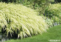 "Japanese Forest Grass:  reddish tints in sun/shimmery lime-gold in shade, perennial, 24"" width and height, grass"