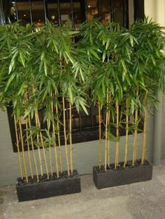 bamboo plants to use for screening - Google Search