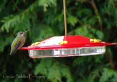 Our first female Anna's Hummingbird seen at our feeder today. She came back several times along with a male. :-)