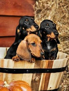 If you are a dachshund lover, you probably think all of your dogs are cute. If you are a doxie dog parent, we are sure that you are the proudest owner of your dachshunds because they are the cutest dogs in the world. Dachshund Puppies, Weenie Dogs, Dachshund Love, Cute Puppies, Cute Dogs, Dogs And Puppies, Daschund, Doggies, Dapple Dachshund