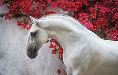 Photographs of Lusitano horses in Portugal by Ekaterina Druz Equine Photography All The Pretty Horses, Beautiful Horses, Animals Beautiful, Horse Photos, Horse Pictures, Campolina, Andalusian Horse, Friesian Horse, Arabian Horses