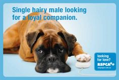 """rescue a dog.  """"single hairy male looking for a loyal companion"""".  boxer"""