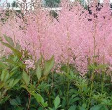 ASTILBE arendsii 'Erika' - Astilbe, farve: rosa/mørkt løv, lysforhold: sol/halvskygge, højde: 80 cm, blomstring: juli - august, tåler fugtig jord, kan vokse i surbundsbedet, velegnet til snit.