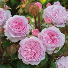 "'Olivia Rose Austin' soft pink, shallow, cupped rosettes 3.5"" across, strong fragrance, hardy, disease resistant, excellent repeat flowering, 3 x 2.5' - David Austin Roses, introduced in 2014"