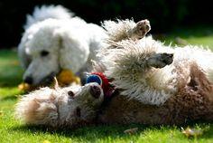 Poodley poodle!