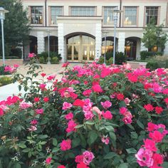 Roses outside the Nursing Building on the Texas State Round Rock Campus.
