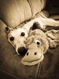 Greyhound with his platypus stuffie