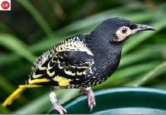 Ăn mật nhiếp chính đông Úc | Regent honeyeater; eastern Australia (Anthochaera phrygia)(Meliphagidae) IUCN Red List of Threatened Species 3.1 : Critically Endangered (CR) | (Loài cực kỳ nguy cấp)