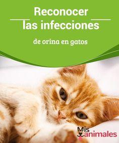 Reconocer las #infecciones de orina en #gatos  Los gatos son #animales independientes y prácticamente no tenemos que preocuparnos por ellos. No necesitan salir de p#aseo y hacen sus cositas solitos en una caja de arena.