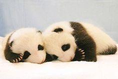 Sleepy Panda Babies